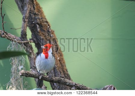 Red Crested Cardinal (paroaria Coronata) Sitting On A Tree