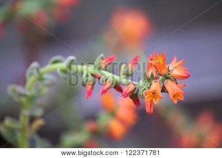Beutiful Orange Blossoms Of Echeveria Pilosa Plant