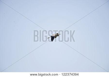 Great Blue Heron (Ardea herodias) in shallow climb