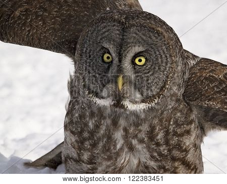 Close up, head and shoulders image of a Great Grey Owl in snow.  Provincial bird of Manitoba, Canada.