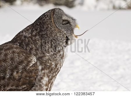 Profile image of a Great Gray Owl eating its prey.  Provincial bird of Manitoba, Canada.