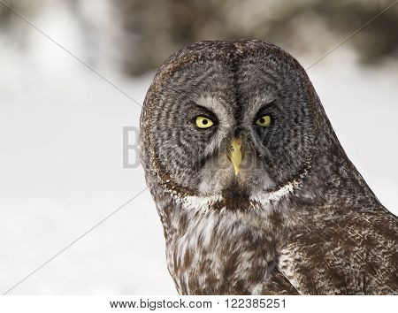 Close up, head and shoulders image of a Great Grey Owl.  Provincial bird of Manitoba, Canada.