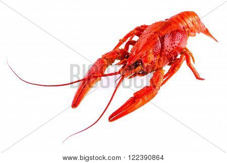 red crayfish isolated on white close-up macro
