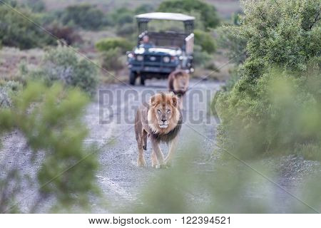 Two male lions in a typical scene on a game drive in a game park in South Africa