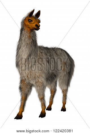 Llama or Lama glama, a domesticated South American camelid, isolated on White