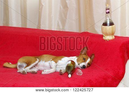 Alcoholic dog (basenji) lying on a red sofa