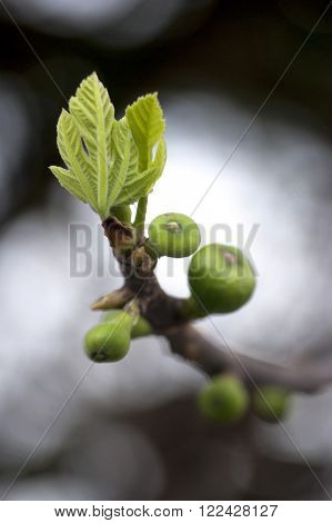The first fruits and leaves of fig