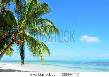 A coconut palm tree on a tropical white sand beach with a blue sea on Moorea an island of the Tahiti archipelago French Polynesia.