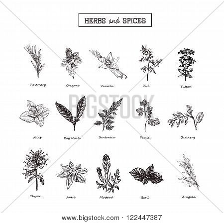 Herbs and spices set. Medicinal herbs. Organic healing herbs. Vector spices and herbs illustrations. Hand drawn herbs and spices. Herbs and spices sketches. Officinale plants. Botanical illustrations..