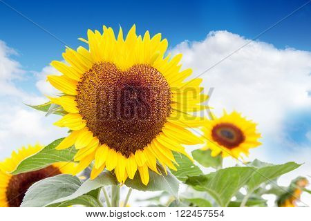 The heart of the sun - A heart shaped sunflower against a bright blue sky