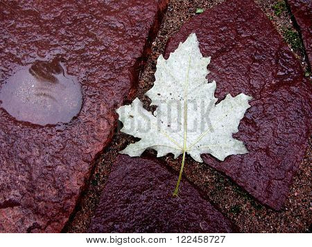 Maple leave on a ground near small plash