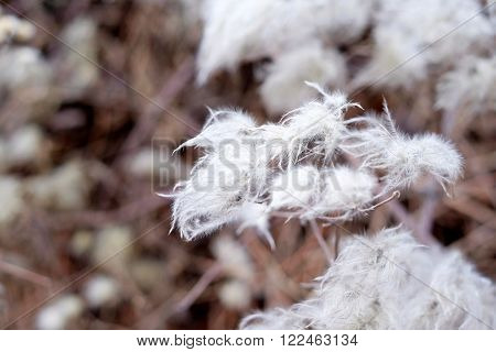Hairy Plant, Cotton