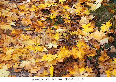 Image of the fallen maple leaves on the ground
