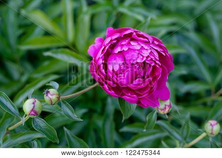 Purple peony flowers and buds on a green