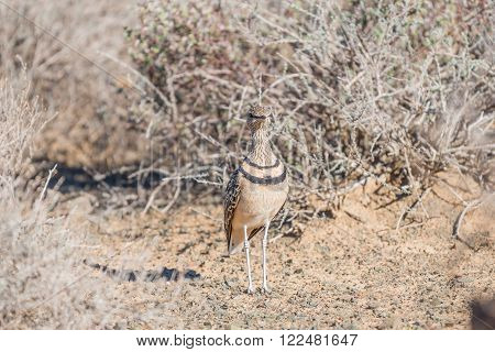 A double-banded courser Smutsornis africanus or Rhinoptilus africanus blending in with its surroundings