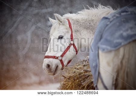 The wet white horse in a red halter walks in snowfall.