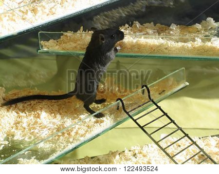 Young baby black gerbil, curious youngster in cage