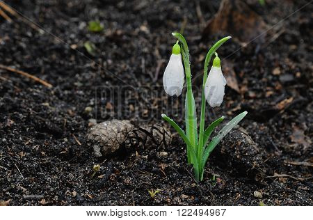 Snowdrop flower in a spring forest, cloudy day