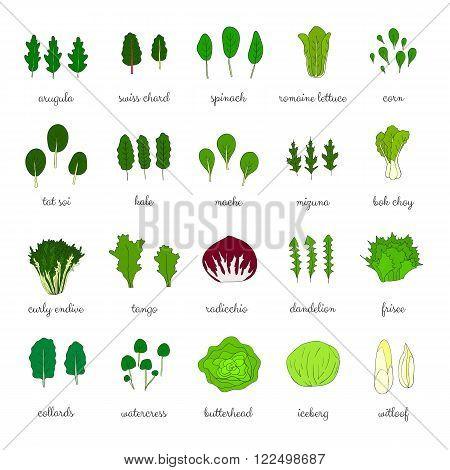 Hand drawn popular types of salad. Leafy greens vegetables. Dandelion, collards, iceberg, arugula, spinach, tango, radicchio, romaine lettuce, corn, frisee, mache, bok choy, mizuna, kale, watercress.