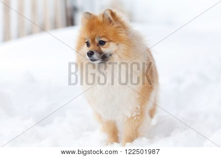 Amazing foxy Pomerianian spitz in snow looking away