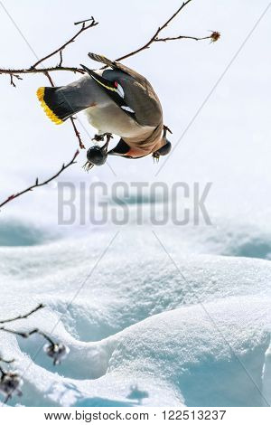 Motley waxwing hanging on a branch of wild rose over the snow and pecks berries on a sunny winter day