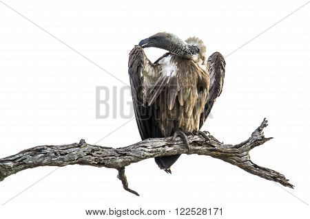 Specie Gyps coprotheres family of Accipitridae,  cape vulture on a branch, South Africa