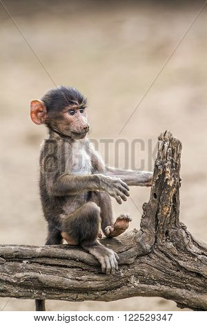 portrait of a baby chacma baboon, South Africa