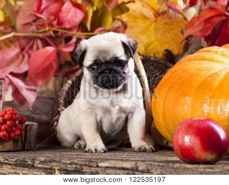 pug puppy in the autumn with a background