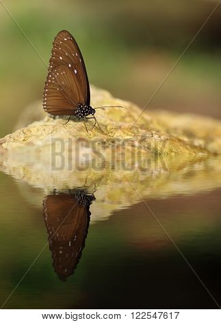 Common Indian Crow Butterfly (euploea Core Lucus) With Water Reflection