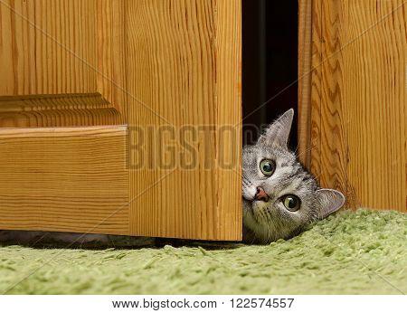 Curious cat looking between doors, funny curious grey cat
