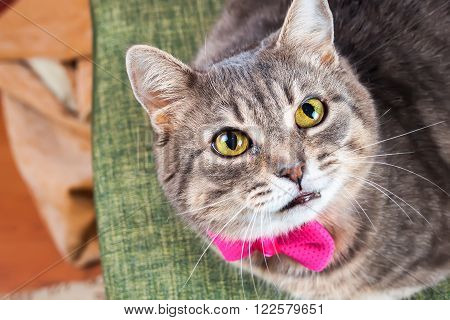 Tabby gray housecat with pink bow looks at camera
