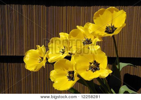 Yellow Tulips And Brown Siding