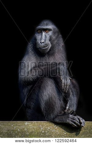 Celebes crested macaque isolated on a black background