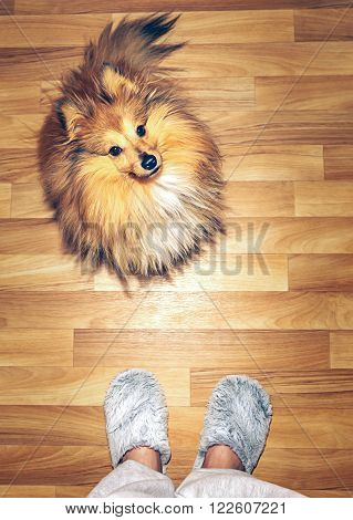 a sitting shelty dog on woody ground