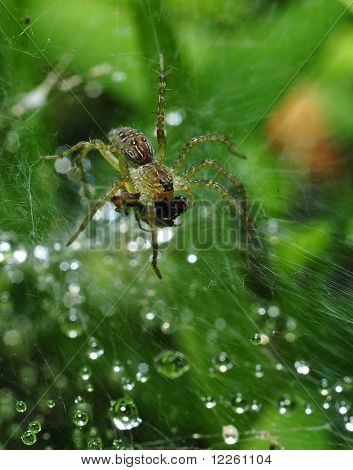pond wolf spider on his web