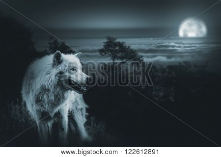 White Alpha Wolf During Full Moon Night Looking For a Prey in the Wilderness.