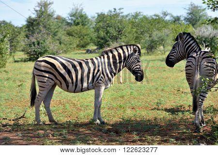 Damara zebras hiding from sun heat in the shade of bushes Equus burchelli Etosha national park Namibia