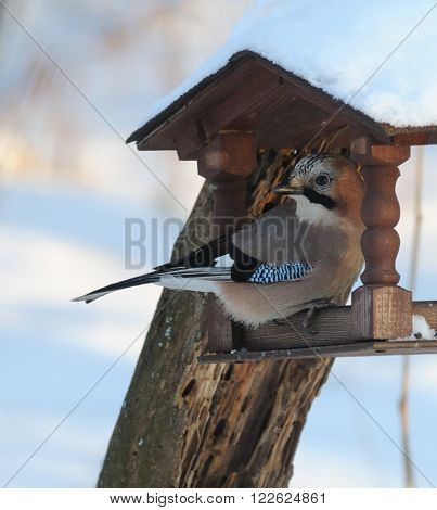Eurasian jay (Garrulus glandarius) at winter feeder. Moscow region Russia