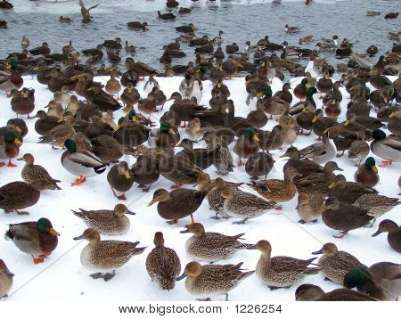 a swarm of ducks sits around the pond poster