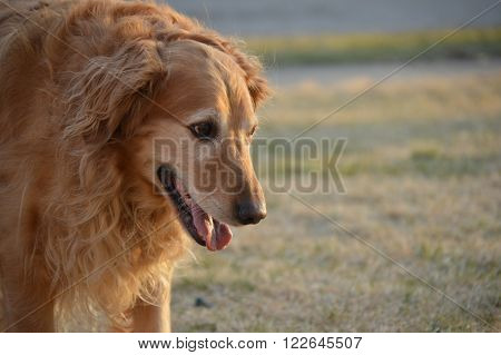 Golden Retriever playing fetch outdoors in the Autumn.