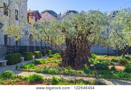 The olive trees of Gethsemane Garden are amongst the oldest known to science Jerusalem Israel.