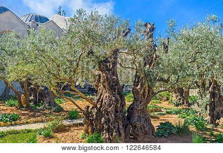 The Gethsemane Garden in Jerusalem is the notable landmark for tourists and pilgrims visiting Holy Land Israel.