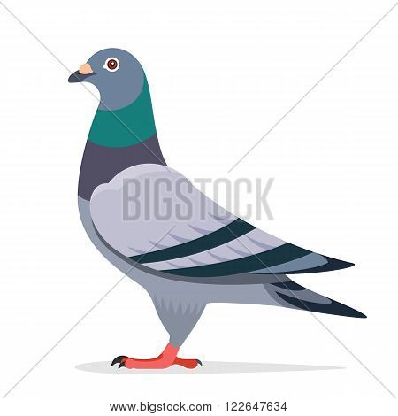 Pigeon bird vector character color flat illustration pigeon image