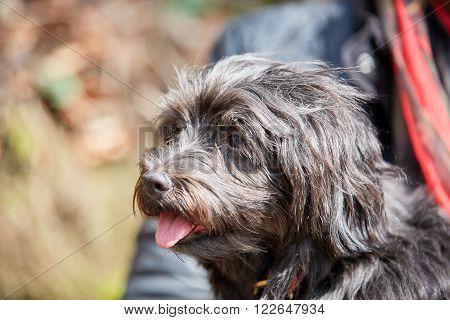Portrait Of Black Havanese Dog