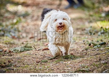 Havanese Dog Running And Jumping
