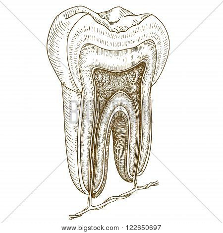 Vector engraving illustration of highly detailed hand drawn human tooth structure isolated on white background