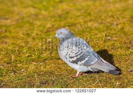 Pigeons In City Park