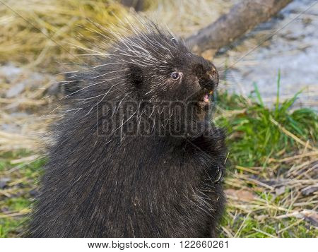 North American or common porcupine (Erethizon dorsatum) poster