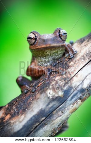 macro of a tropical Amazonian tree frog in the Amazon jungle of Bolivia. This treefrog species lives in the rain forest of Brazil, Peru Ecuador and Bolivia