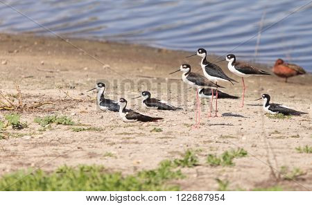Black-necked stilt, Himantopus mexicanus, shore birds in spring, fishing in a marsh pond in Irvine, California, United States.